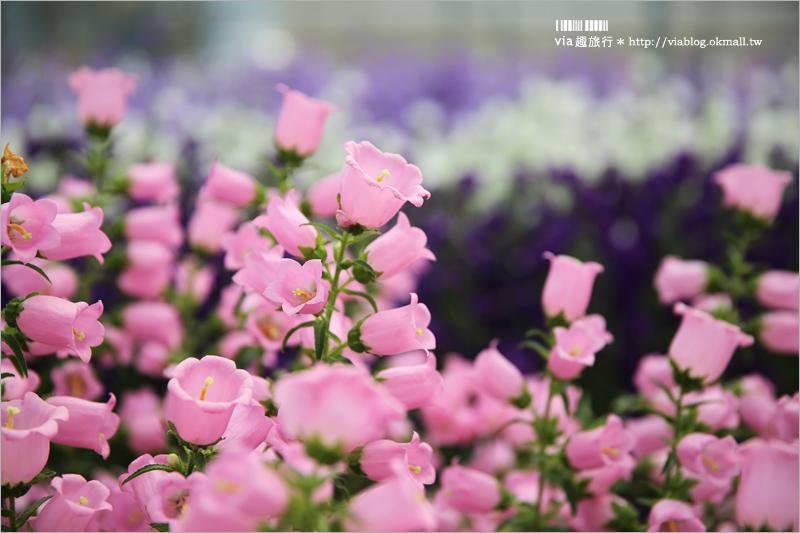 【雲林新景點】台南農業改良場雲林分場~隱藏版的彩虹花田!風鈴花夢幻登場!