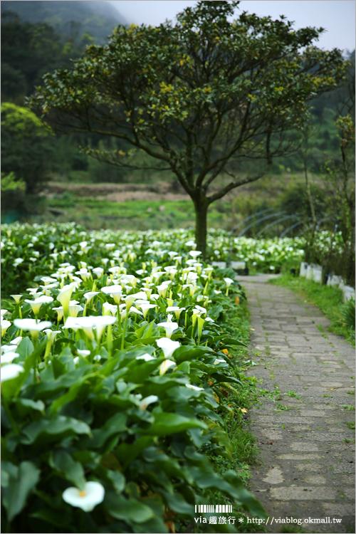 【竹子湖海芋季】苗榜海芋田賞花季~今年的花兒都已經開好囉!準備上山賞花趣~