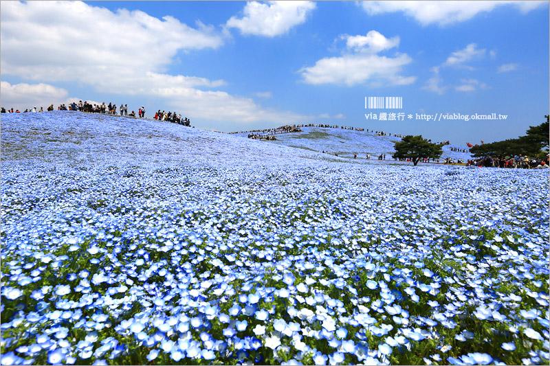 【日本粉蝶花】國營常陸海濱公園~朝聖!無敵夢幻的粉蝶花丘大盛開!一生必賞的浪漫絕景!
