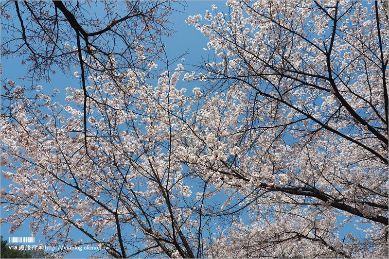 【韓國賞櫻景點】水原華城行宮~世界文化遺產景點!古城秀麗迷人、櫻花綻放時節美不勝收