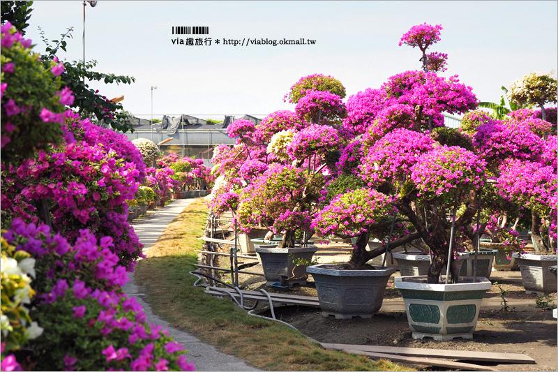 【彰化景點】輝豐園藝~九重葛花園!童話般的桃紅色夢幻花園真實登場!
