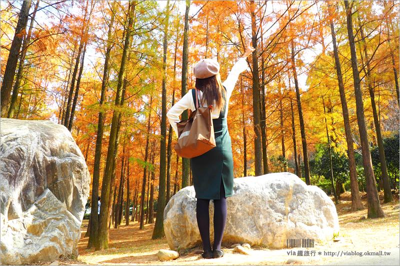 【泰安落羽松】泰安國小落羽松+如光山寺池杉林~夢幻美景正紅!旅人們快出發!
