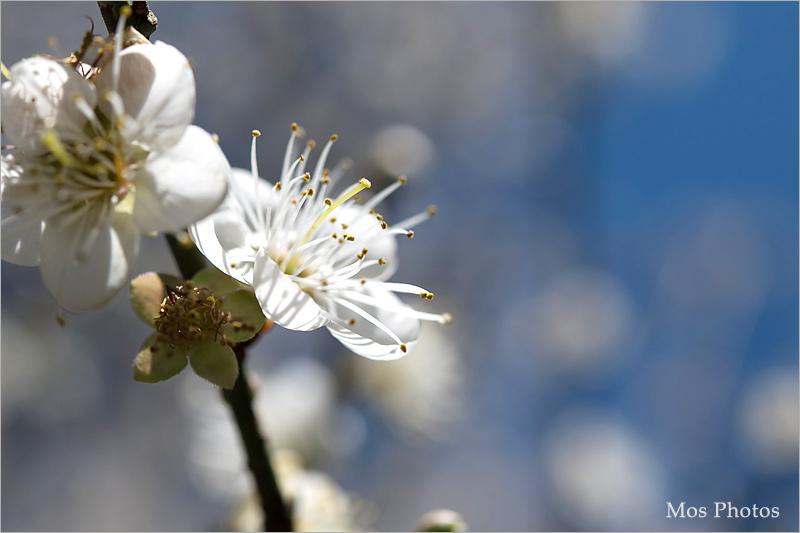 【南投梅花】南投仁愛賞梅~羅家梅園‧賞梅新秘境~高大壯觀的老梅樹,梅花炸開好美!