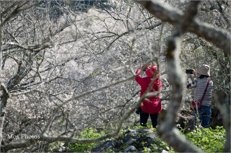 【彭家梅園】南投仁愛賞梅趣:自助國小週邊的經典梅園~雪白梅樹近在眼前好好拍!