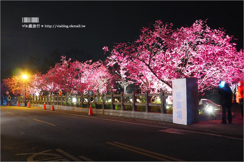 【泰安櫻花】台中泰安派出所櫻花~盛開超美實況來囉!點燈賞夜櫻更有風味!
