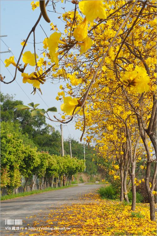 【南投黃金風鈴木】樸提蘭園旁~秘境報到!夢幻的金黃色小徑‧隱身在國道旁的賞花秘境