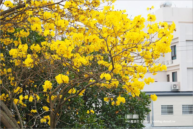 【彰化黃金風鈴木】賞花景點~季節限定‧初春最亮眼!經典黃金風鈴木大道就在這!