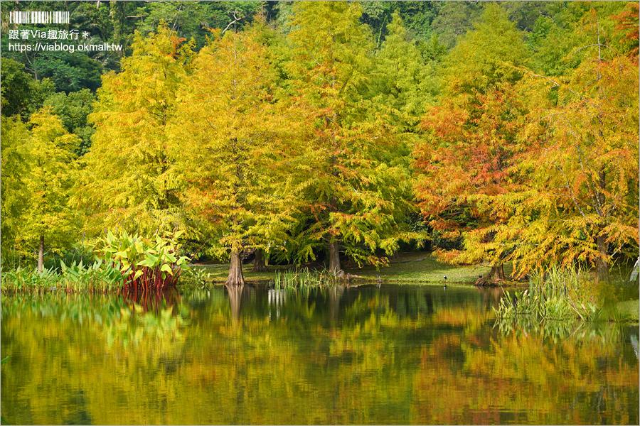 【苗栗落羽松】南庄雲水度假森林~仙氣景點!羽松湖草原的湖畔落羽松轉紅了~最新實況來囉!