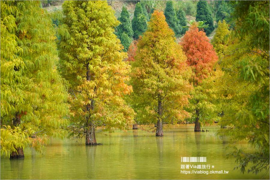 苗栗三灣落羽松~台三線101K的浪漫秘境!打翻秋天調色盤的繽紛景點!