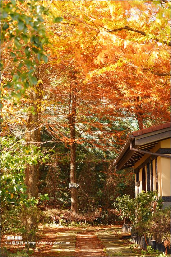 【清境落羽松】(上)現在正美!清境冬季旅遊這樣玩~普羅旺斯玫瑰莊園+見晴落羽松館落羽松實況