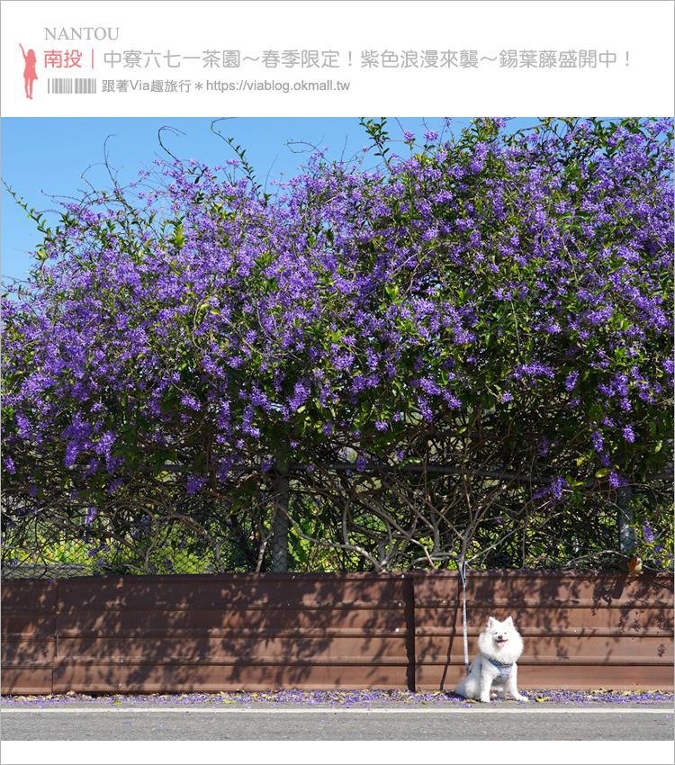 【中寮景點】671茶花園錫葉藤盛開中~春季限定!浪漫的紫色花藤來報到,爆紅秘境看這篇!