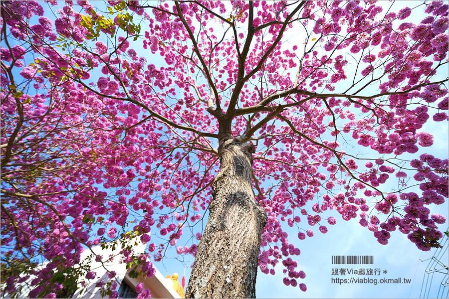 埔里洋紅風鈴木》埔里靈巖山寺~洋紅風鈴木大盛開!粉紅色大爆發的超美新秘境登場!