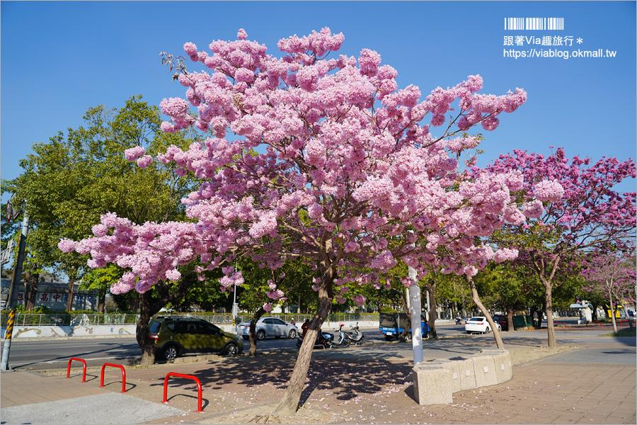 【草屯景點】草屯洋紅風鈴木~草屯體育場前的粉紅浪漫!不輸櫻花的炸開美景實況!