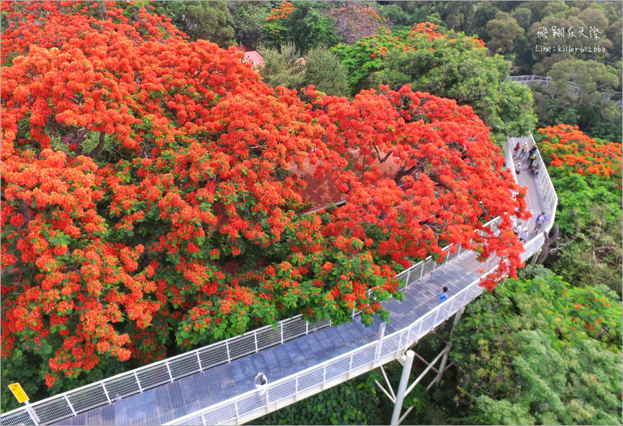 【彰化鳳凰花】八卦山天空步道鳳凰花~超美!橘紅色的天空!夏季最火紅熱情的花季報到~