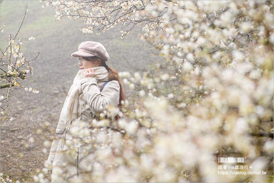 【南投梅花】2021外坪頂翁氏梅家莊–翁家梅園仙境版,賞梅秘境綻放千萬朵,仙氣美照等你來追梅!