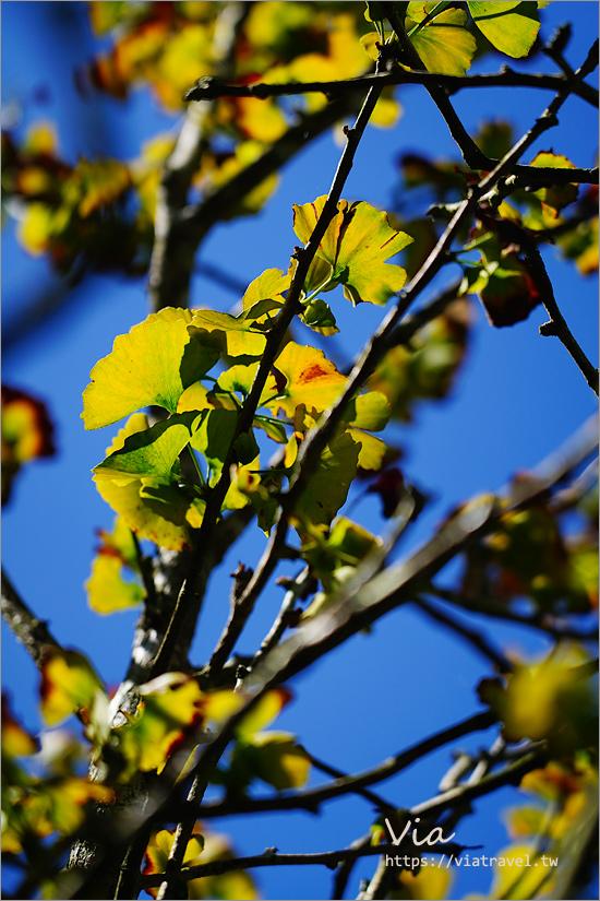 南投溪頭景點》大崙山銀杏森林~初見黃金森林,銀杏步道及壯麗茶園景致一次盡收!