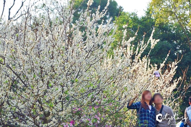 【花壇虎山岩李花】虎山岩遊憩區-山丘上李花開滿雪白片片賞花趣