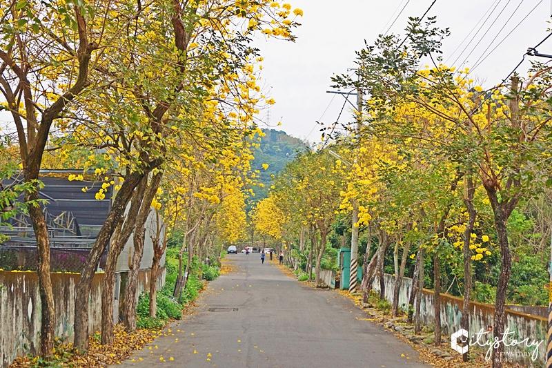 【坑內風鈴木花道】彰化二水坑內坑森林步道-黃花風鈴木新秘境,小山丘花開好滿。